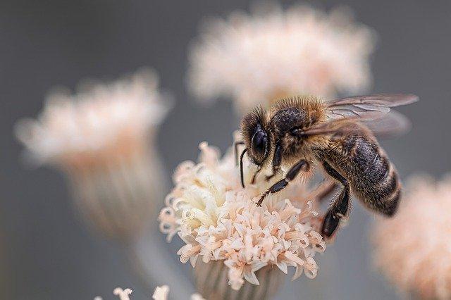 Илустрација, пчела, преузето и аутор: pixabay.com/edmondlafoto